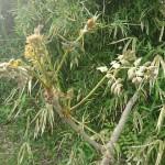 タラの木と収穫していた竹の子